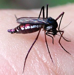 moustiquefievrejaunepharo.jpg